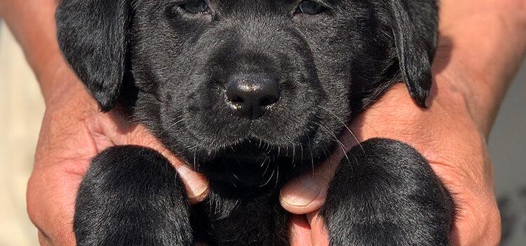 ラブラドールレトリバー専門ブリーダー 子犬 茨城 2103生まれ